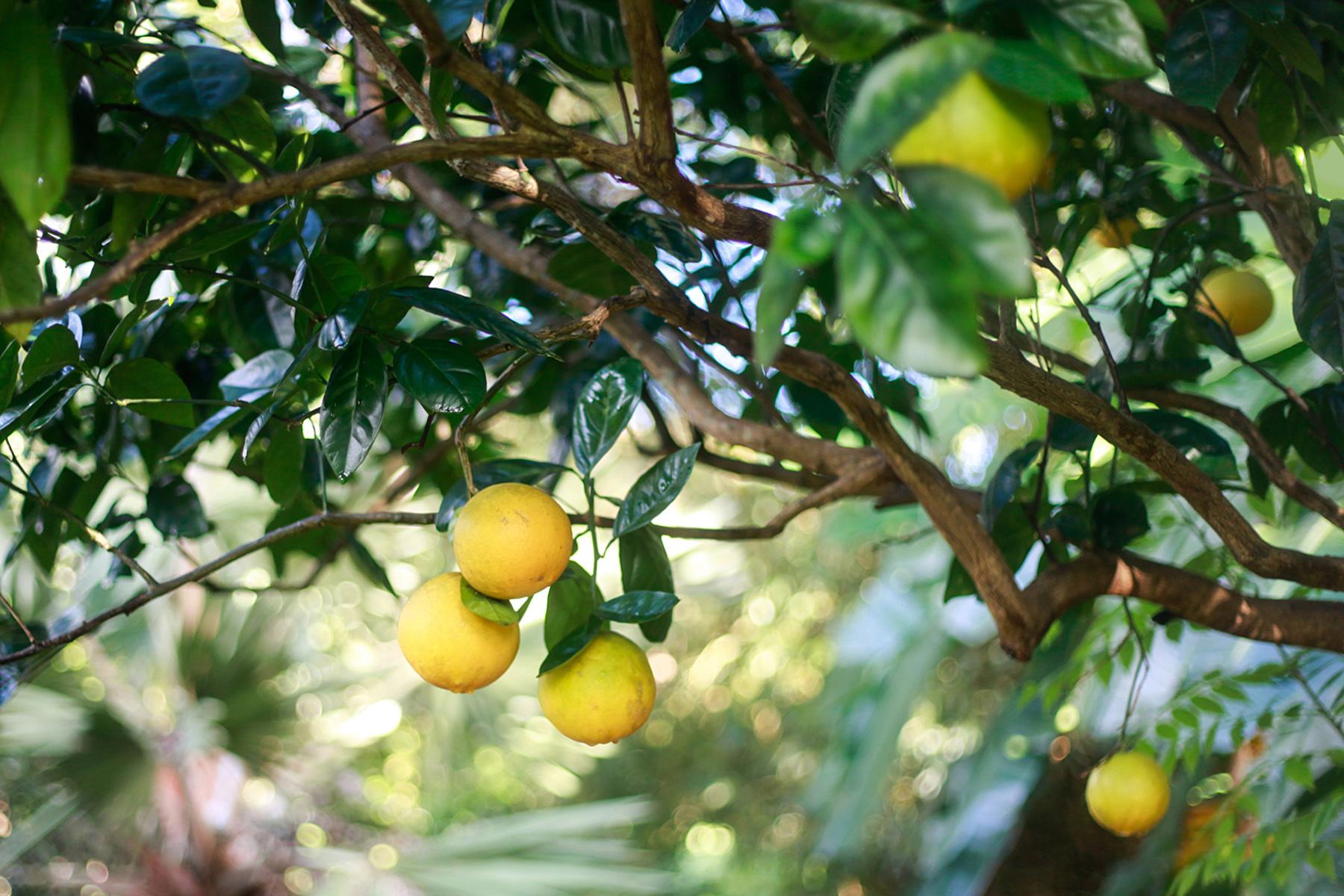 SS_lemons